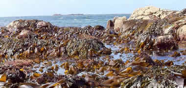 Major €14 million European Initiative to Develop the Potential of Seaweed as Biofuel-image