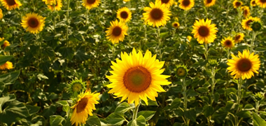 New non-GM technology platform for genetic improvement of sunflower oilseed crop-image