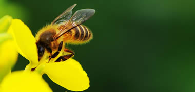New Approach in Tackling Global Threat to Bees-image