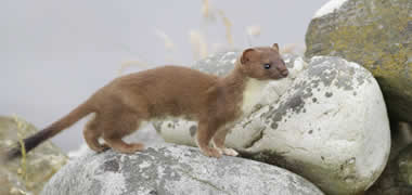 The Irish stoat is the focus of a new research project by NUI Galway. Photo by Dermot Breen