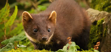 Ireland's most elusive mammal, the native pine marten. Photo by Maurice Flynn