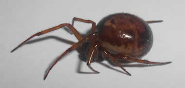 NUI Galway Zoology student to track down infamous false black widow spiders around the city-image