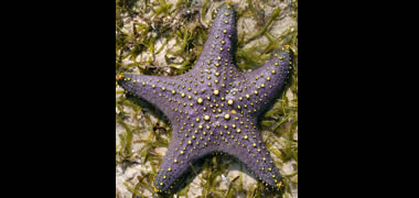 The Common Knobbed Star(Pentaceraster mammillatus) and the seagrass Thalassia hemprichii. Zanzibar, Indian Ocean © M.D. Guiry/AlgaeBase.