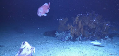 New and Spectacular Deep-water Coral Province Discovered off the West Coast of I-image