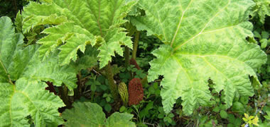 NUI Galway Begins Research Project to Control Growth of 'Giant Rhubarb'-image