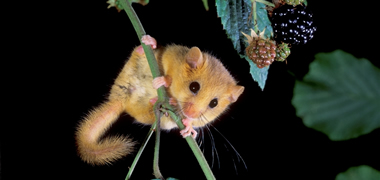 Hunt is on for Sleepy Dormouse-image