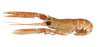 Nephrops norvegicus, also known as 'Dublin Bay prawn', 'langoustine' or 'scampi'